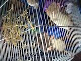 Грызуны Домашние крысы, цена 1 Грн., Фото