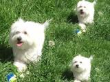 Собаки, щенята Мальтійська болонка, ціна 500 Грн., Фото