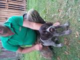Собаки, щенята Німецька жорсткошерста лягава, ціна 2800 Грн., Фото