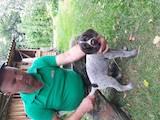 Собаки, щенки Немецкая жесткошерстная легавая, цена 2800 Грн., Фото
