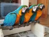 Попугаи и птицы Попугаи, цена 25600 Грн., Фото