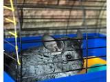 Грызуны Шиншиллы, цена 1000 Грн., Фото