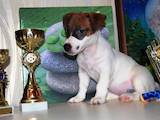 Собаки, щенки Джек Рассел терьер, цена 9000 Грн., Фото