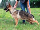 Собаки, щенки Немецкая овчарка, цена 10400 Грн., Фото