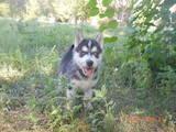 Собаки, щенята Сибірський хаськи, ціна 4000 Грн., Фото