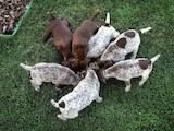 Собаки, щенята Німецька гладкошерста лягава, ціна 5200 Грн., Фото