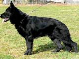 Собаки, щенки Немецкая овчарка, цена 2600 Грн., Фото