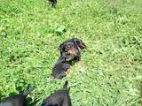 Собаки, щенки Ягдтерьер, цена 799 Грн., Фото