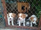 Собаки, щенки Бигль, цена 6500 Грн., Фото