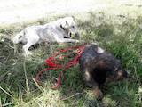 Собаки, щенки Гладкошерстный фокстерьер, цена 100 Грн., Фото