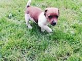 Собаки, щенки Джек Рассел терьер, цена 4500 Грн., Фото