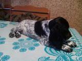 Собаки, щенки Русский спаниель, цена 1600 Грн., Фото