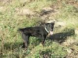 Собаки, щенки Ягдтерьер, цена 10 Грн., Фото