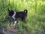 Собаки, щенки Русско-Европейская лайка, цена 400 Грн., Фото