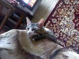 Кошки, котята Донской сфинкс, Фото