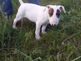 Собаки, щенята Бультер'єр, ціна 15000 Грн., Фото