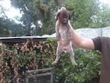 Собаки, щенята Німецька жорсткошерста лягава, ціна 1999 Грн., Фото