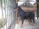 Собаки, щенки Ротвейлер, цена 2500 Грн., Фото