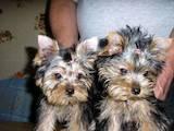 Собаки, щенята Йоркширський тер'єр, ціна 4800 Грн., Фото
