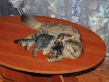 Кішки, кошенята Безпорідна, ціна 2 Грн., Фото