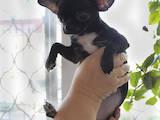 Собаки, щенки Чихуа-хуа, цена 7000 Грн., Фото