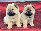 Собаки, щенята Чау-чау, ціна 8500 Грн., Фото