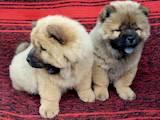 Собаки, щенки Чау-чау, цена 8500 Грн., Фото