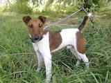 Собаки, щенки Гладкошерстный фокстерьер, цена 5500 Грн., Фото