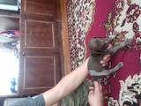 Собаки, щенята Німецька гладкошерста лягава, ціна 800 Грн., Фото