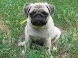 Собаки, щенята Мопс, ціна 500 Грн., Фото