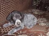 Собаки, щенята Німецька гладкошерста лягава, ціна 950 Грн., Фото