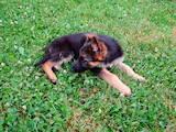 Собаки, щенки Немецкая овчарка, цена 10 Грн., Фото