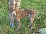 Собаки, щенки Немецкая гладкошерстная легавая, цена 1100 Грн., Фото