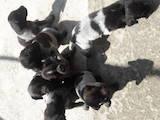 Собаки, щенки Немецкая жесткошерстная легавая, цена 7000 Грн., Фото