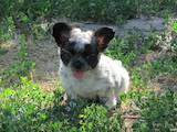 Собаки, щенки Чихуа-хуа, цена 12700 Грн., Фото