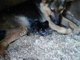 Собаки, щенки Немецкая овчарка, цена 450 Грн., Фото