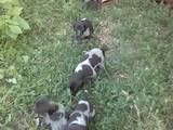 Собаки, щенята Різне, ціна 1000 Грн., Фото