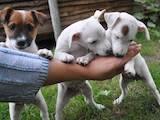 Собаки, щенята Джек Рассел тер'єр, ціна 4500 Грн., Фото