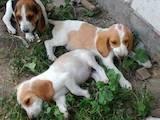 Собаки, щенки Эстонская гончая, цена 120 Грн., Фото