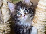 Кішки, кошенята Мейн-кун, ціна 5000 Грн., Фото