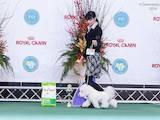 Собаки, щенята Бішон фрісе, ціна 30000 Грн., Фото