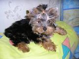Собаки, щенята Йоркширський тер'єр, ціна 9000 Грн., Фото