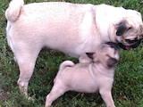 Собаки, щенята Мопс, ціна 6500 Грн., Фото