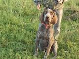 Собаки, щенки Немецкая гладкошерстная легавая, цена 900 Грн., Фото