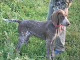 Собаки, щенки Немецкая гладкошерстная легавая, цена 750 Грн., Фото