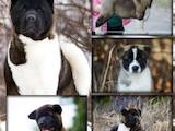 Собаки, щенки Американский акита, цена 22000 Грн., Фото