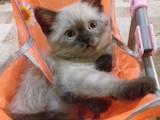 Кішки, кошенята Шотландська короткошерста, ціна 900 Грн., Фото