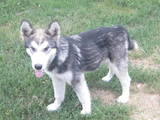 Собаки, щенята Аляска маламут, ціна 5700 Грн., Фото