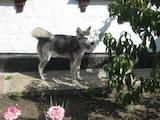 Собаки, щенята Аляска маламут, ціна 5500 Грн., Фото