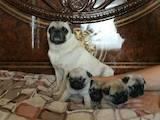 Собаки, щенята Мопс, ціна 4500 Грн., Фото